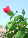 Backyard_rose_041308